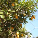 Just another orange tree!