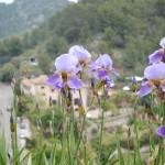 more Iris ...