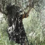Roy´s olive tree