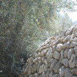 Stonewall and olive tree ...